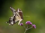 Giant Swallowtail _MG_9951.jpg