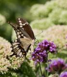 Giant Swallowtail _MG_9969.jpg