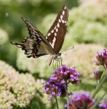 Giant Swallowtail _MG_9974.jpg