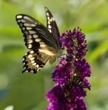 Giant Swallowtail _S9S5716.jpg