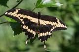 Giant Swallowtail male _7MK7097.jpg