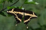 Giant Swallowtail male _7MK7201.jpg