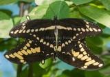 Giant Swallowtail pair mating _7MK7127.jpg