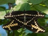 Giant Swallowtail pair mating _7MK7129.jpg