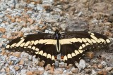Giant Swallowtail with ant _MG_2072.jpg
