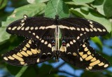 Giant Swallowtails pair mating _7MK7289.jpg