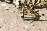 Canadian Tiger Swallowtail _7MK0608.jpg