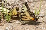 Canadian Tiger Swallowtail _7MK0618.jpg