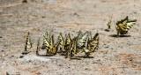 Canadian Tiger Swallowtail _7MK1279.jpg