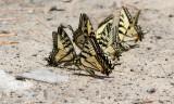 Canadian Tiger Swallowtail _7MK1285.jpg