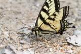 Canadian Tiger Swallowtail _7MK1366.jpg
