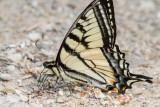 Canadian Tiger Swallowtail _7MK1369.jpg
