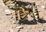 Canadian Tiger Swallowtail _MG_1273.jpg