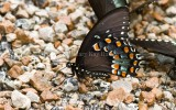 SPICEBUSH SWALLOWTAIL (Papilio treilus)