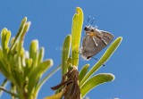 MARTIAL SCRUB-HAIRSTREAK (Strymon istapa)