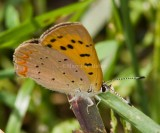 PURPLISH COPPER (Lycaena helloides)