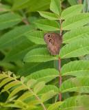 Common Wood-Nymph no hindwing spots _11R8552.jpg