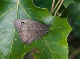 Common Wood-Nymph with one hindwing spot _11R9148.jpg
