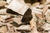 Common Wood-nymph _I9I4730.jpg