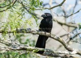 GROOVE-BILLED ANI (Crotophagus sulcirotris)