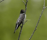 OLIVE-SIDED FLYCATCHER (Contopus Cooperi)