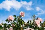 Mrs Harris's Roses