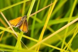 Skipper In Grass