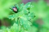 Japanese Beetle on Geranium