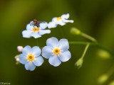 Fly on Forget-me-not