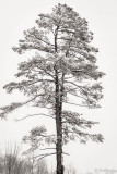 Pine Tree in Winter