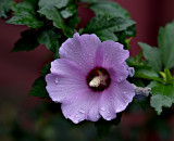 Rose of Sharon (Hibiscus syriacus) #2