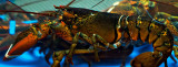 Lobster in Lobster Tank