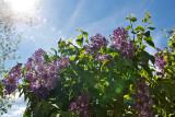 8204 Lilacs