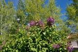 8207 Lilacs