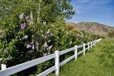 8233 Lilacs