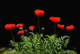 8275 Poppies