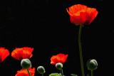 8275 C Poppies