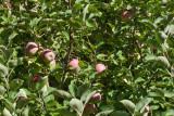 0814 Apples.jpg