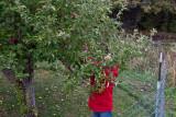 8414 8410 Picking apples.jpg