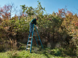 0863 Dave picking apples.jpg