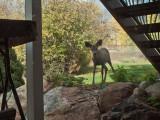 0883 Deer.jpg