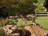 0886 Deer.jpg