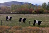 8473 Belted Gallaways (oreo's) and wild turkeys
