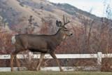 8627 Deer