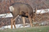 8636 Deer