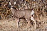 8659 Deer.jpg