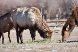8701 Elk.jpg