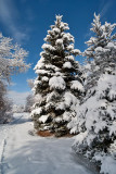 8739 Blue spruce