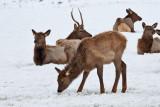 8787 Elk fawn.jpg