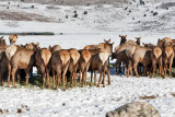8833  Mooned by elk